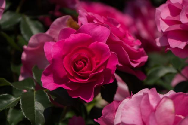 谷津バラ園【薔薇:うらら】1