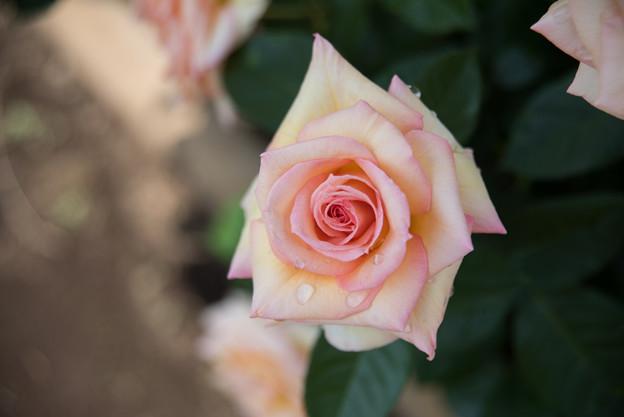 神代植物公園【薔薇:名無】