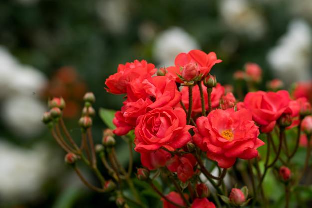 神代植物公園【薔薇:ファイヤーグロウ】