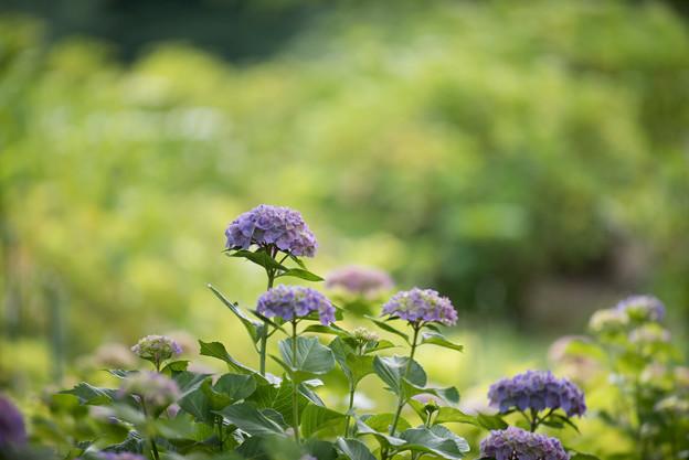 相模原北公園の紫陽花【センセーション】1