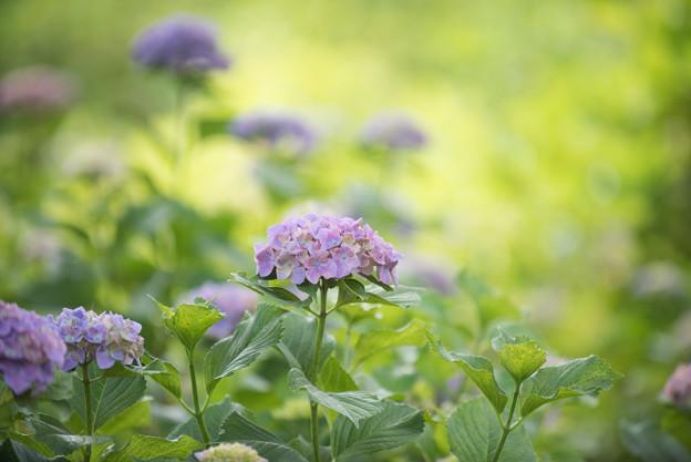 相模原北公園の紫陽花【センセーション】2