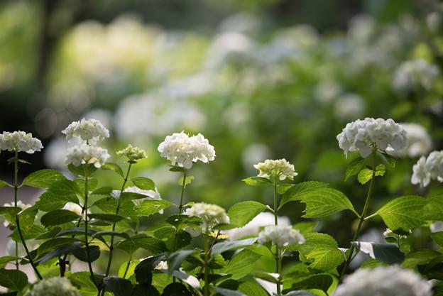 相模原北公園の紫陽花【インマクラータ】2