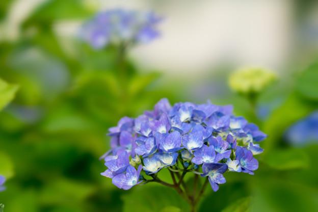 相模原北公園の紫陽花【マリンブルー】3
