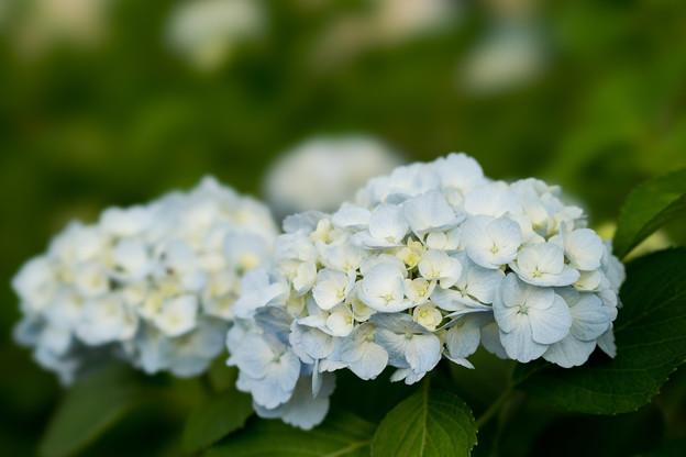 相模原北公園の紫陽花【シロテマリ】
