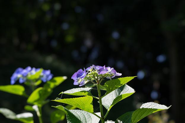 薬師池公園【紫陽花:ブルースカイ】