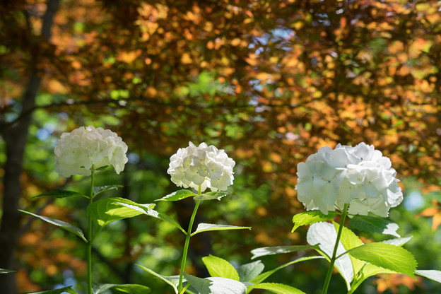 浄慶寺【白紫陽花】2