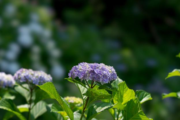 浄慶寺【紫紫陽花】1