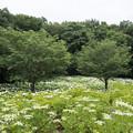 相模原北公園の紫陽花【アナベル】1