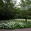 相模原北公園の紫陽花【アナベル】2