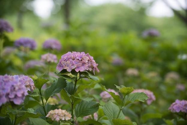 相模原北公園の紫陽花【センセーション】3
