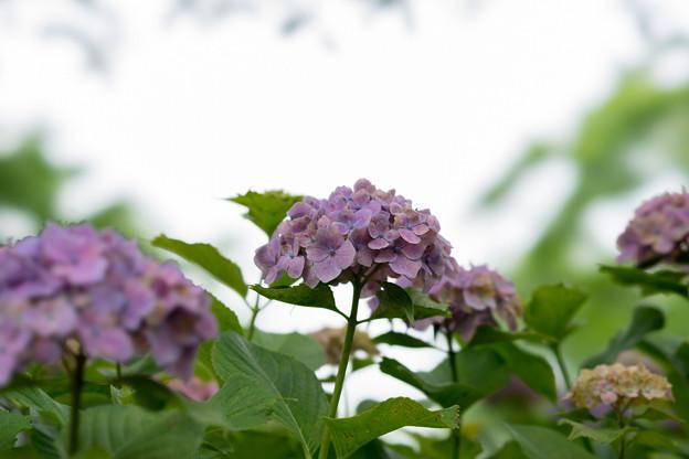 相模原北公園の紫陽花【センセーション】4