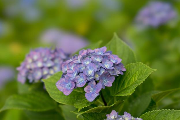 相模原北公園の紫陽花【マリンブルー】2