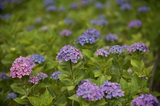 相模原北公園の紫陽花【ハルナ】1