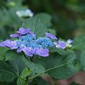 相模原北公園の紫陽花【ソフティ】1