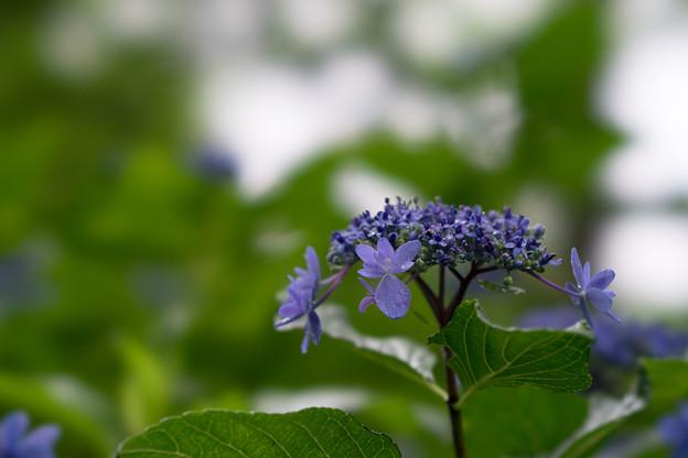 昭和記念公園【青色の額紫陽花】5