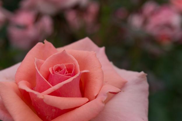 大船植物園【薔薇:トーナメント・オブ・ローゼス】