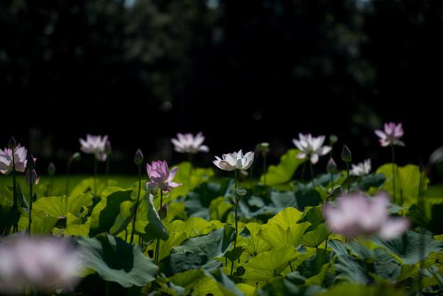 花菜ガーデン【田んぼたんぼの蓮】1-3