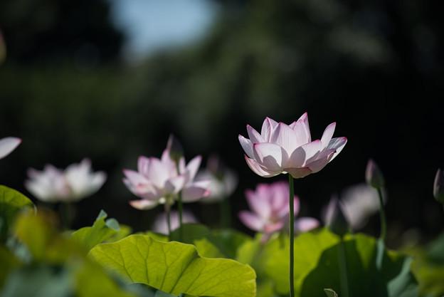 花菜ガーデン【田んぼたんぼの蓮】1-4