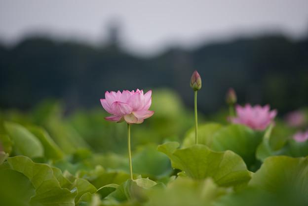【小山田神社の蓮】2-1