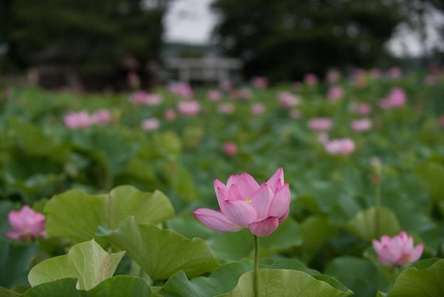 【小山田神社の大賀蓮】1-2