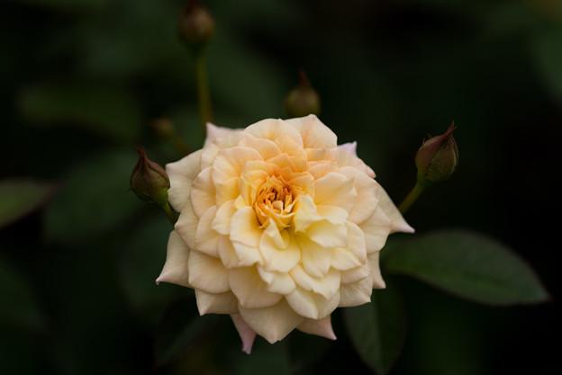 神代植物公園【バラ:ムーン・スプライト】