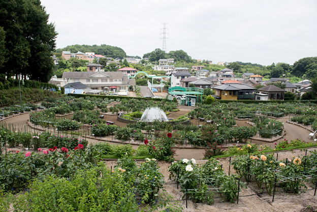 町田ダリア園の眺め