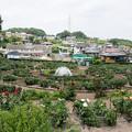 Photos: 町田ダリア園の眺め