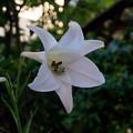 【庭に咲いたユリ】4