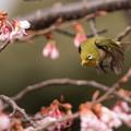 新宿御苑【メジロと寒桜】1-4