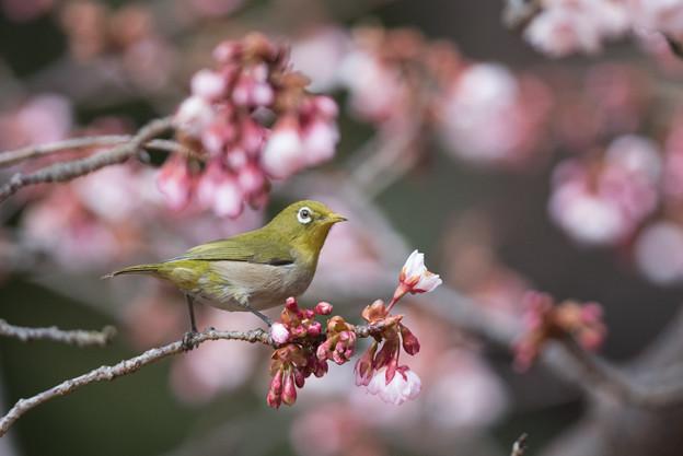 新宿御苑【メジロと寒桜】2-1