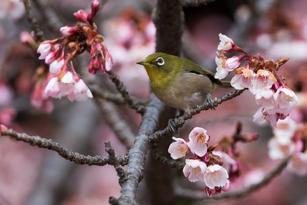 新宿御苑【メジロと寒桜】2-2