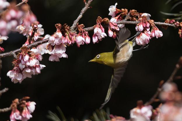 新宿御苑【メジロと寒桜】2-6