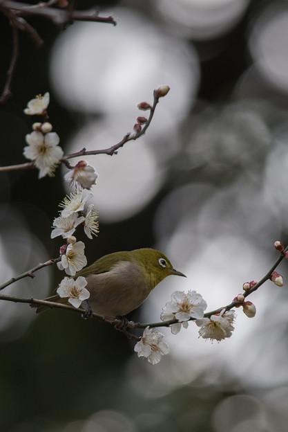 皇居東御苑【メジロと白梅】1-4