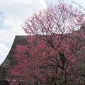 写真: 皇居東御苑【梅林坂の眺め:八重寒紅】