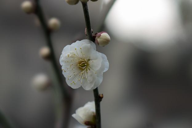 皇居東御苑【早咲き梅:八重野梅】2