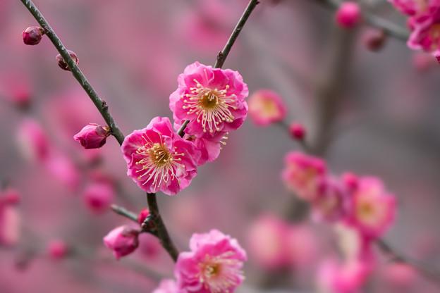 皇居東御苑【早咲き梅:八重寒紅】2