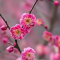 写真: 皇居東御苑【早咲き梅:八重寒紅】2