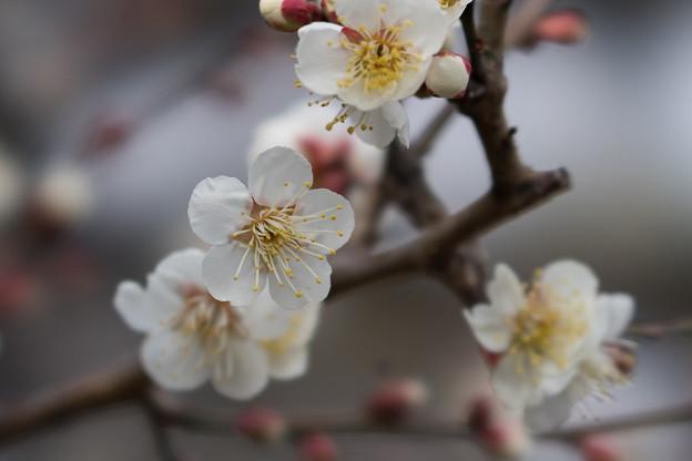 皇居東御苑【早咲き梅:冬至】2