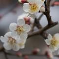 写真: 皇居東御苑【早咲き梅:冬至】2