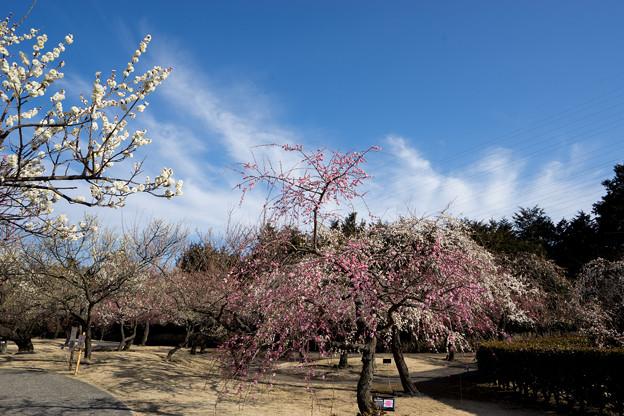小田原フラワーガーデン【梅園の景色】2