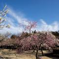 写真: 小田原フラワーガーデン【梅園の景色】2