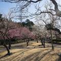 小田原フラワーガーデン【梅園の景色】4