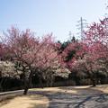 写真: 小田原フラワーガーデン【梅園の景色】5