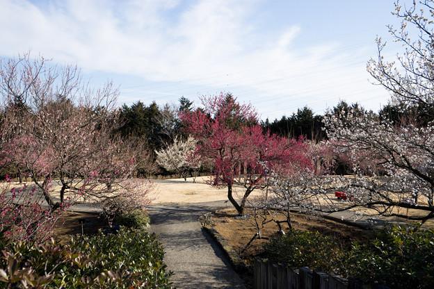 小田原フラワーガーデン【梅園の景色】6