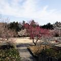 写真: 小田原フラワーガーデン【梅園の景色】6