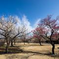 写真: 小田原フラワーガーデン【梅園の景色】7