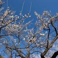 写真: 小田原フラワーガーデン【梅の花:十郎】1
