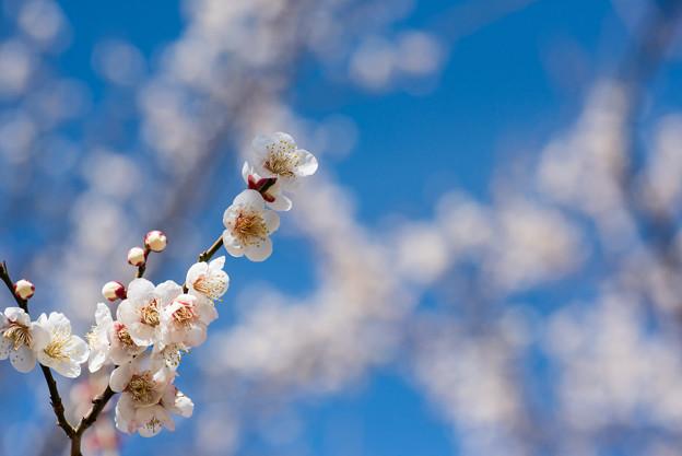小田原フラワーガーデン【梅の花:十郎】2