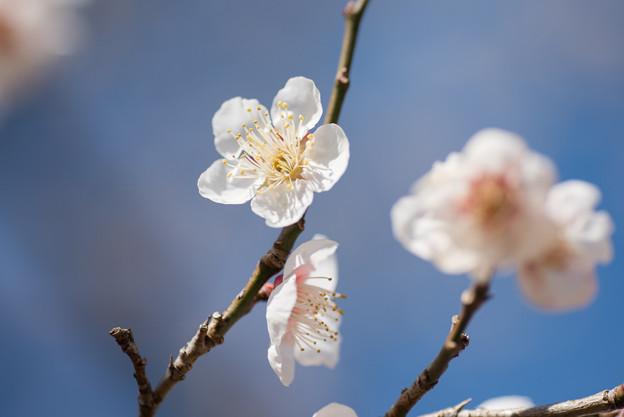 小田原フラワーガーデン【梅の花:十郎】5