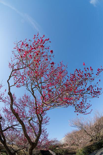 小田原フラワーガーデン【梅の花:鹿児島紅】1